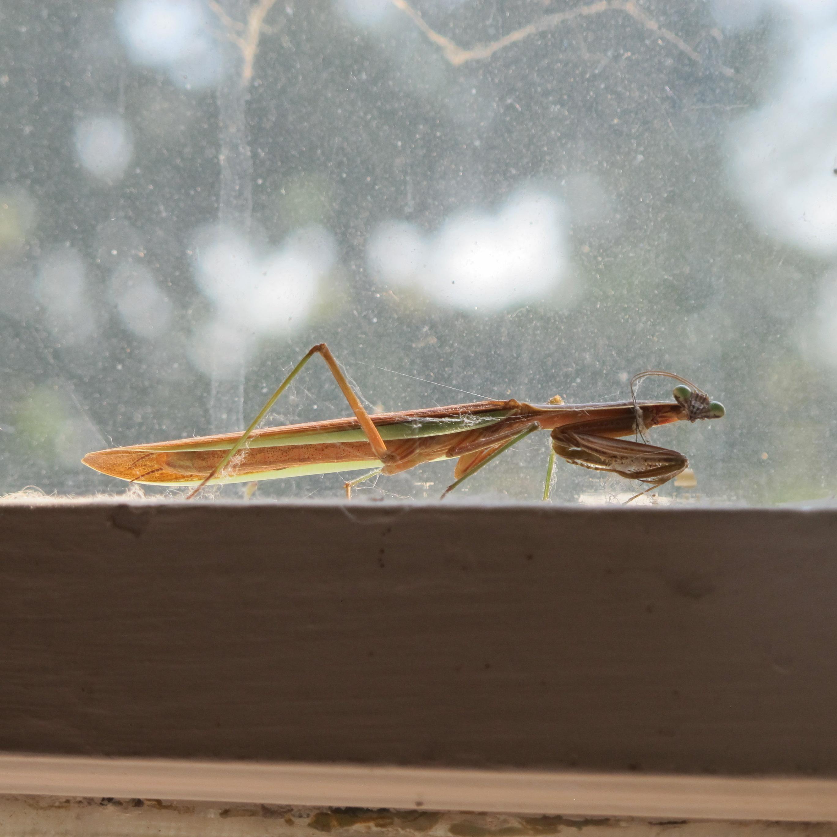 Indoor Praying Mantis