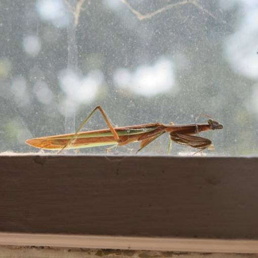 Indoor Praying Mantis