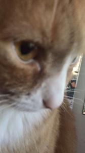 Big Ginger Tomcat